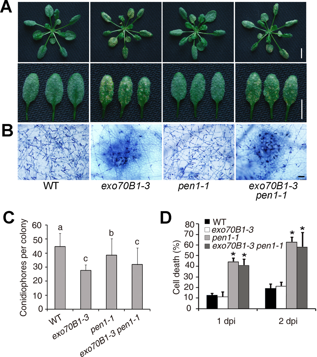 Defense responses of wild type, <i>exo70B1-3, pen1-1</i> and <i>pen1-1 exo70B1-3</i> plants to adapted and non-adapted powdery mildew pathogens.
