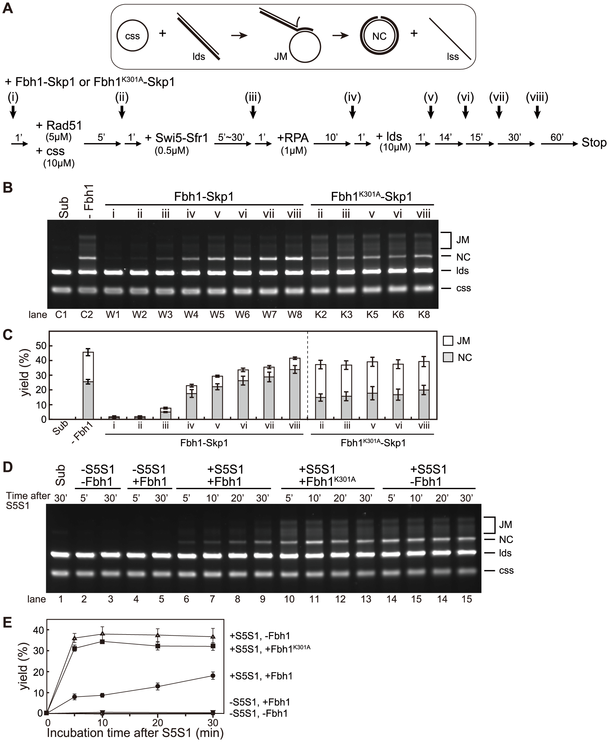Fbh1 inhibits the strand-exchange reaction at early steps, but stimulates it at the late steps.