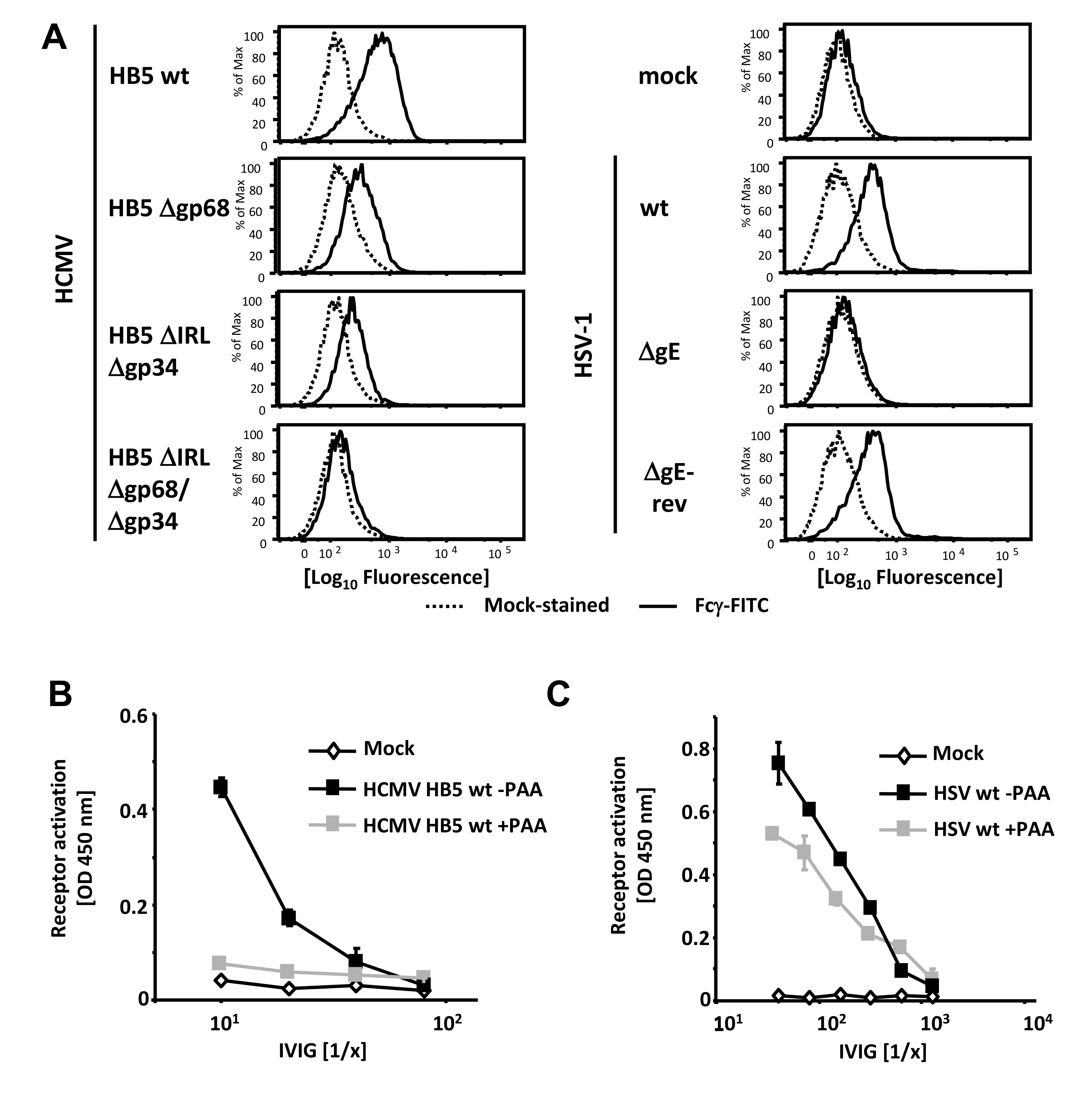 Viral FcγRs bind Fcγ on the cell surface and opsonizing IgG dependent FcγR activation is restricted to the late phase of HCMV but not HSV replication.