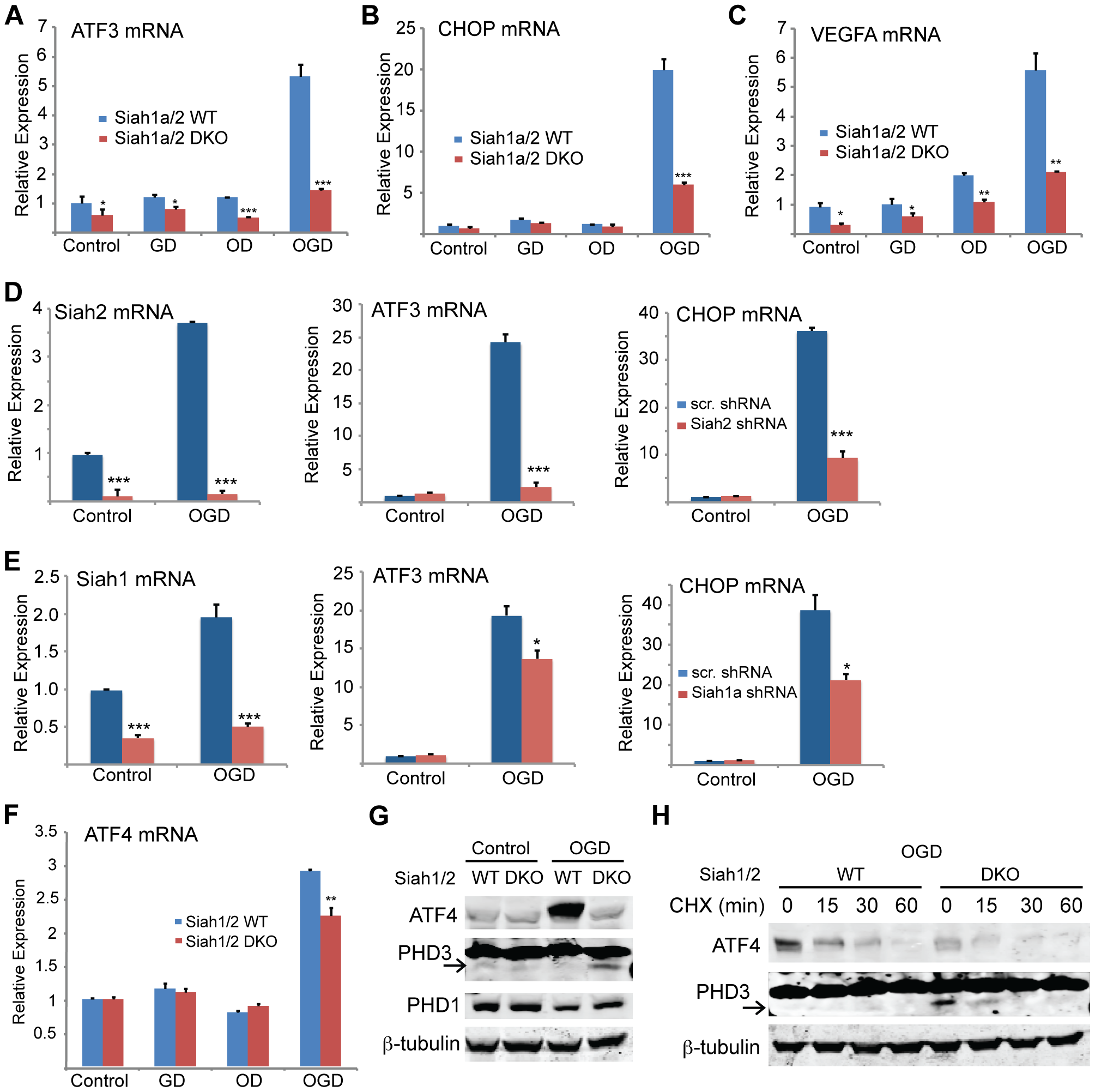ATF4 transcriptional activity following oxygen glucose deprivation is Siah1/2 dependent.