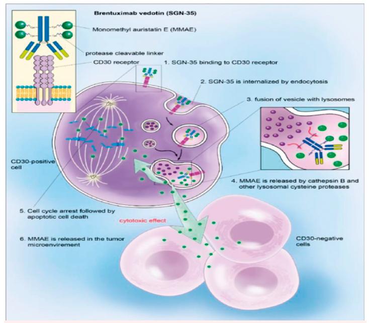 """ADC – brentuximab bedotin, ADC – """"antibody-drug conjugate"""", mechanismus cytotoxického účinku<br> Na protilátku anti-CD30 je pomocí proteinového můstku (v plazmě stabilního] připojen cytotoxický antitubulinový monomethyl auristatin E (MMAE). Konjugát se váže na receptory CD 30, které jsou exprimované na povrchu H/RS buněk, pomocí lysozomů se noří do nitra buňky. Lysozomální proteázy degradují proteinovou vazbu na anti CD30 protilátku. MMAE je uvolněn, rozruší mikrotubulární síť, buněčný cyklus se zastaví, dochází k apoptóze buňky.<br> (Upraveno podle Younes A, Bartelett NL, Leonard JP, et al. Brentuximab vedotin (SGN 35) for relapsed CD30-positive lymfomas. N Engl J Med 2010;363:1812–1821.)"""