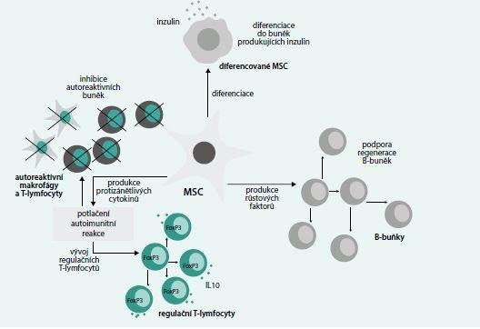 Schéma. Znázornění mechanizmů, kterými mohou MSC přispívat k léčbě DM1T