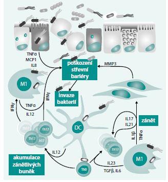 Patogeneze IBD