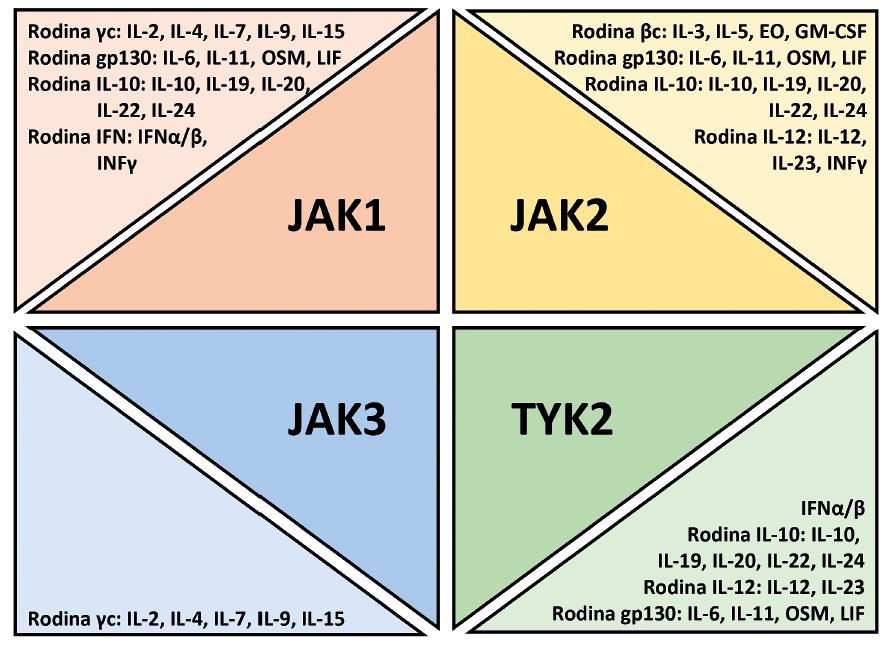 Použití různých Janusových kináz (JAK) v signální transdukci cytokinů, chemokinů a růstových faktorů. Upraveno podle O´Shea et al. [5]