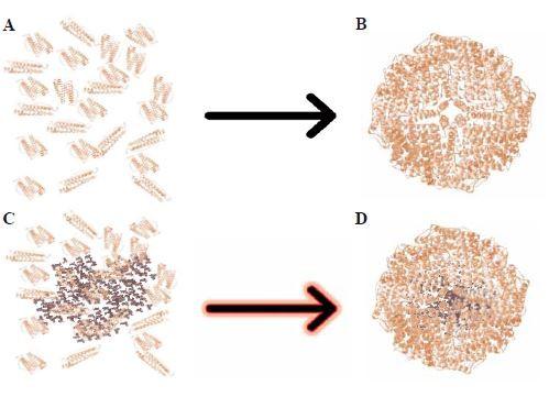 Schematické využití samoorganizačních vlastností apoferritinu a mechanizmus enkapsulace léčivé látky.<br> A. Apoferritin rozdělený na podjednotky v kyselém pH (pH = 2±0,1).<br> B. Apoferritin složený na globulární protein v zásaditém pH (pH = 8±0,1).<br> C. Apoferritin rozdělený na podjednotky s doxorubicinem v kyselém pH (pH = 2±0,1).<br> D. Doxorubicin enkapsulovaný v apoferritinu v zásaditém pH (pH = 8±0,1).