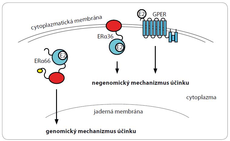 Schéma 1. Genomický a negenomický mechanizmus účinku estrogenu. Na počátku genomického mechanizmu účinku je vznik komplexu ERα66 s E2, který je následován konformačními změnami ERα66 a jeho translokací do jádra. Za negenomický mechanizmus estrogenu jsou zodpovědné především ERα36 a GPER, které aktivují celou řadu kináz.