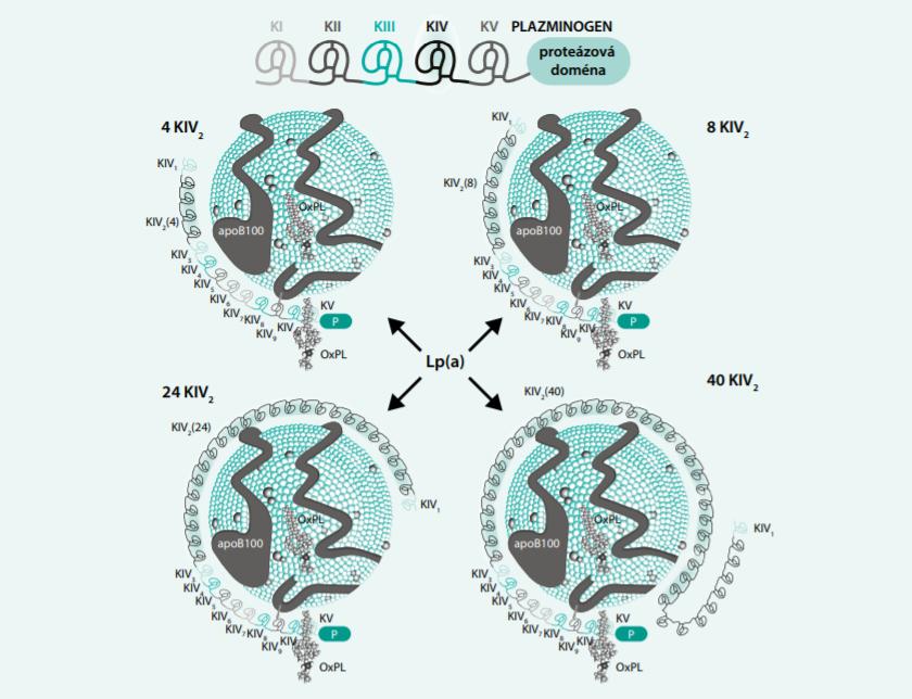 Struktura plazminogenu a Lp(a). Upraveno podle [9]