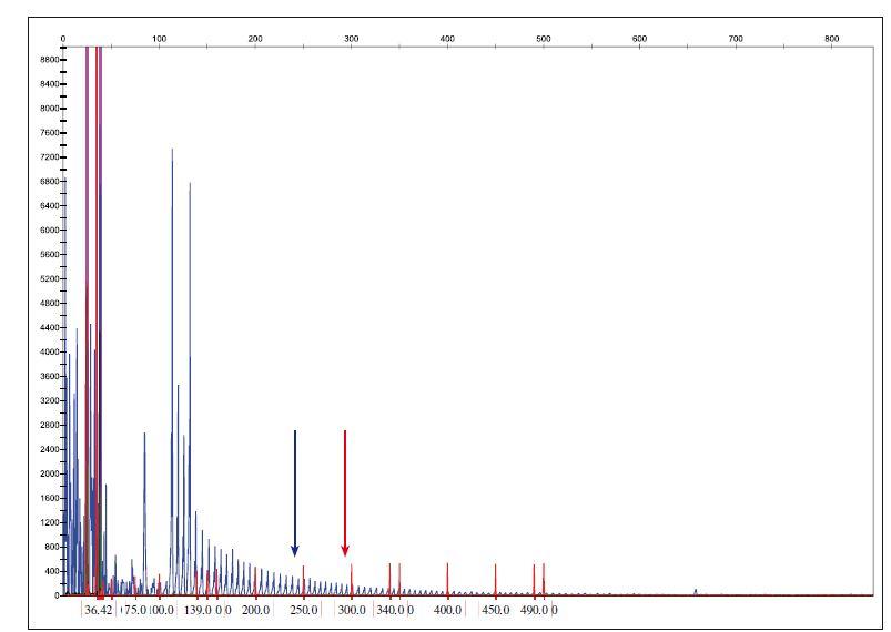Určení počtu kopií hexanukleotidové expanze C9ORF72. Referenční hodnoty: normální alela < 20 GGGGCC repetic, permutovaná alela 20–29 GGGGCC repetic, úplná penetrance > 29 GGGGCC repetic. Modrá šipka ukazuje místo 20 GGGGCC repetic a červená znázorňuje místo 30 a více repetic.<br> Fig. 3. Determination of the copy number of C9ORF72 hexanucleotide expansion. Reference values: normal allele < 20 repeats GGGGCC, premutation allele 20–29 repeats GGGGCC allele, full penetration > 29 repeats GGGGCC. A blue arrow shows the position of the 20 GGGGCC repeats and the red arrow shows the position of 30 or more repetitions.