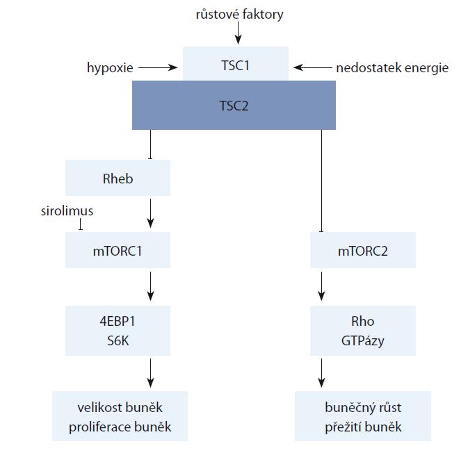 Schéma 1. Signalizační dráha mTOR a působení inhibitoru mTOR sirolimu. Podle Taveira-DaSilva [7].