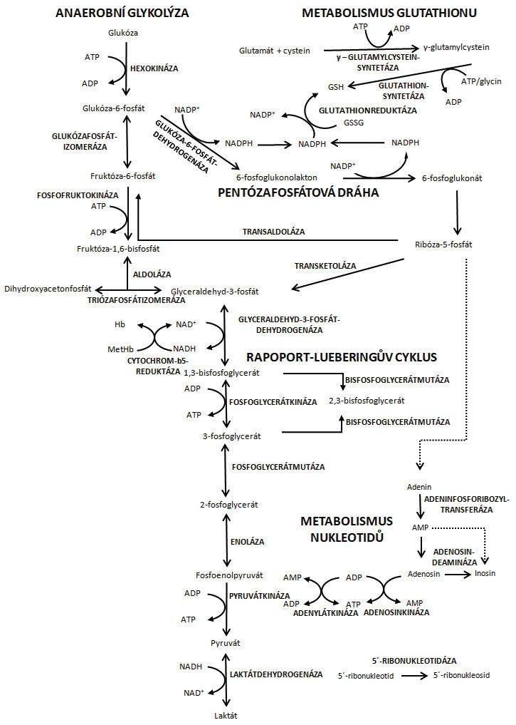 Hlavní metabolické dráhy erytrocytu<br> Degradací glukózy anaerobní glykolýzou a pentózafosfátovou dráhou vznikají tři základní metabolické produkty (ATP, NADH a NADPH) nezbytné pro udržení životaschopnosti erytrocytu. ATP – adenosintrifosfát; ADP – adenosindifosfát; AMP – adenosinmonofosfát; NADP/NADPH – oxidovaná/ redukovaná forma nikotinamidadenindinukleotidfosfátu; NAD/NADH – oxidovaná/redukovaná forma nikotinamidadenindinukleotidu; MetHb – methemoglobin, Hb – hemoglobin (upraveno podle [50])