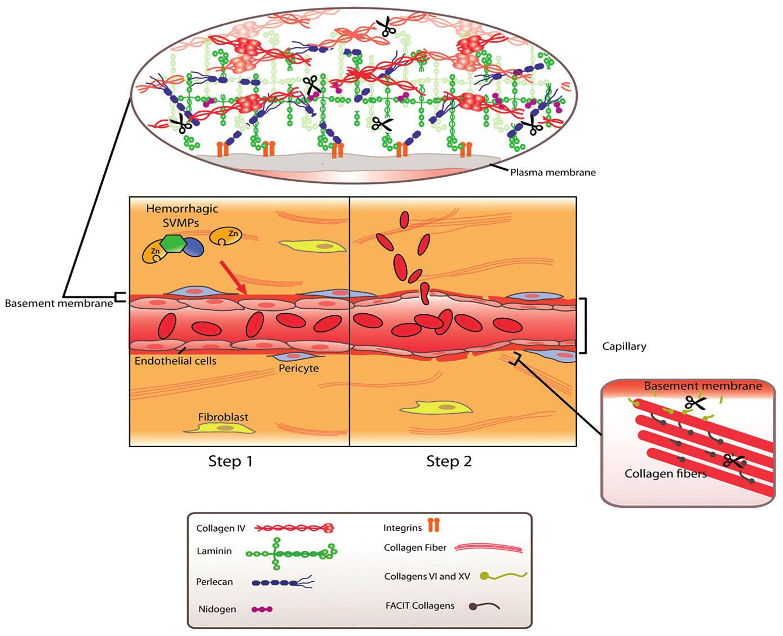 Patofyziologické účinky hadieho jedu. Dvojkroková aktivácia SVMPs-metalopropteinázy hadieho jedu vedúca k degradácii bazálnej membrány kapilár s následnou hemorágiou. Upravené podľa [23].
