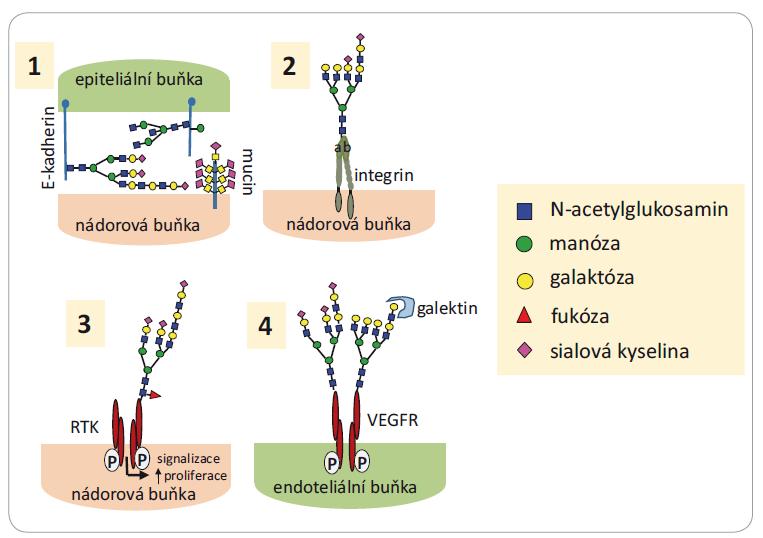 Funkce glykanů ve vývoji a progresi nádorů.