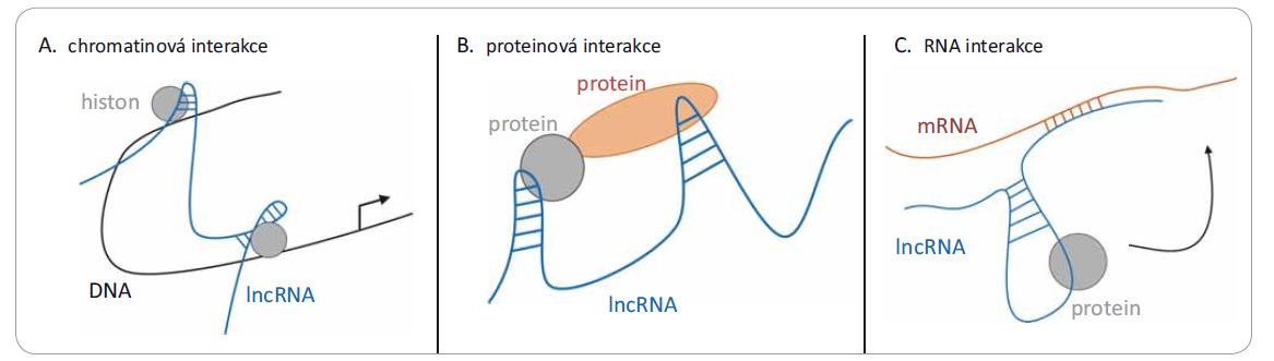 Tři různé mechanizmy působení lncRNA. Jedná se o interakce s: A) chromatinem (DNA), kdy dochází k remodelaci chromatinu po vazbě lncRNA; B) různými proteiny, kde lncRNA může modulovat protein-proteinové interakce; nebo C) mRNA, kde dochází k narušení translace.