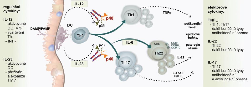 Cytokinová regulační osa IL-12/IL-23/IL-22 v imunopatogenezi psoriázy
