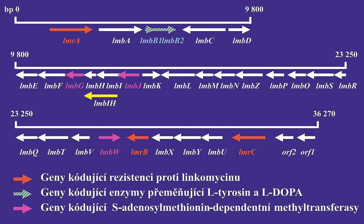 Linkomycinový genový klastr<br> Červeně jsou vyznačeny geny kódující rezistenci na antibiotika. Šrafovaně jsou vyznačeny geny kódující S-adenosyl-dependentní metyltransferázu. Šipky ukazují směr transkripce jednotlivých genů. Produkty genů lmbA–lmbK se podobají enzymům metabolismu aminokyselin. Produkty genů lmbL–lmbQ jsou pravděpodobně enzymy cukerného metabolismu.<br> Figure 1. Lincomycin gene cluster<br> Genes encoding resistance to antibiotics are highlighted in red. Genes encoding S-adenosyl-dependent methyltransferase are hatched. Arrows indicate the direction of transcription for individual genes. Gene products lmbA–lmbK are similar to enzymes for amino acid metabolism. Gene products lmbL–lmbQ are most probably sugar metabolism enzymes.