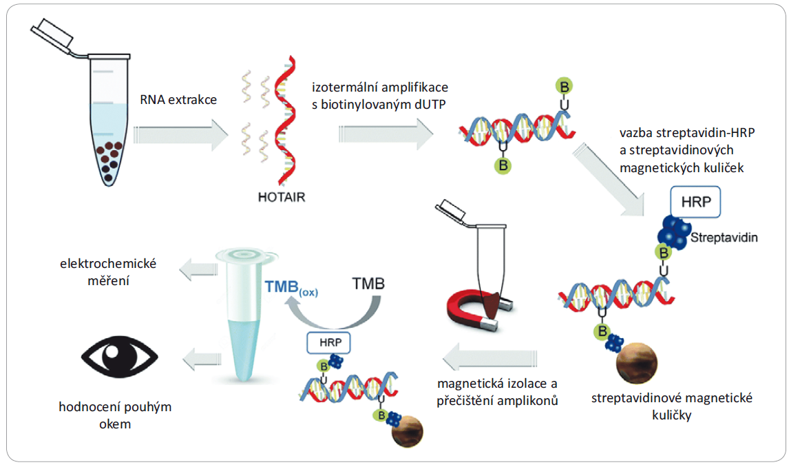 Schéma kolorimetrické a elektrochemické detekce HOTAIR kombinující izotermální amplifi kace lncRNA, vazbu amplikonů na magnetické kuličky a enzymatickou reakci zprostředkovanou HRP. TMB jakožto substrát pro HRP je detekován volným okem nebo citlivěji elektrochemicky. Upraveno z [58], se svolením Royal Society of Chemistry.
