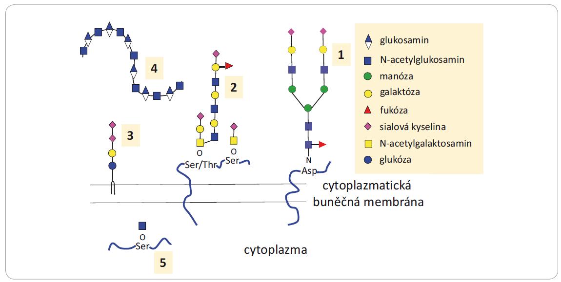 Struktury glykanů a glykokonjugátů zapojených do nádorové progrese.