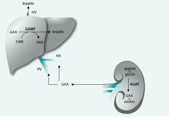 Obr. Endogénna syntéza kreatínu
