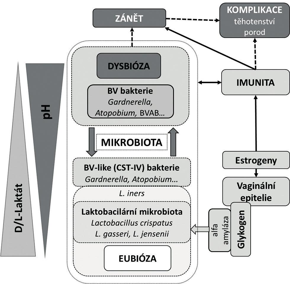 Současný pohled na vaginální mikrobiom