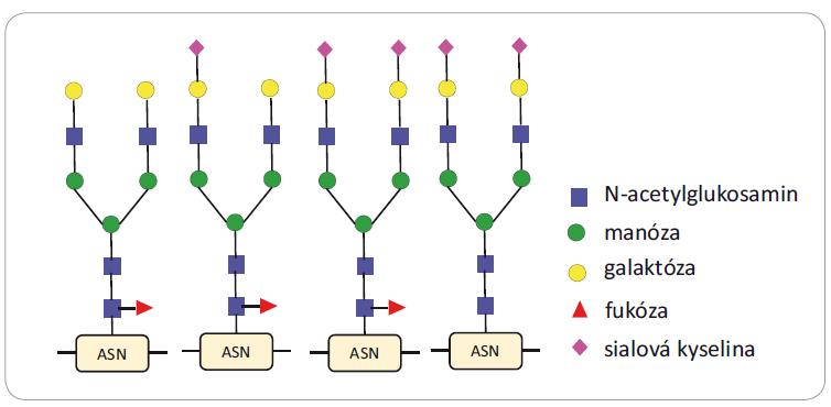 N-glykany přítomné na α-fetoproteinu vyskytující se u pacientů s hepatocelulárním karcinomem. Většina z nich je fukosylována na jádře glykanu a sialylována na anténách. Převzato a upraveno z [31].