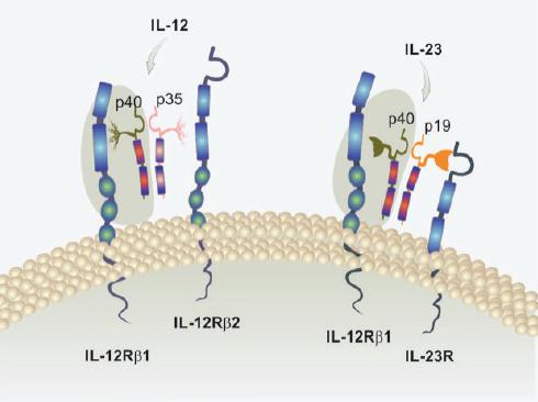 Struktura cytokinů IL-12 a IL-23 a jejich receptorů