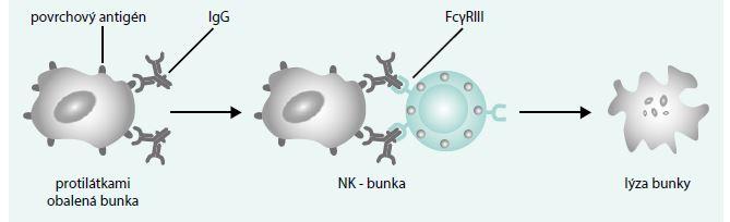 Schéma 3. Cytotoxicita sprostredkovaná bunkami závislá od protilátky (ADCC). Na terčovú bunku sa nadviaže špecifická protilátka, napr. IgG, ktorá v jej membráne rozpoznáva svoj špecifický antigén. Takto obalenú terčovú bunku rozpozná K-bunka, pretože vlastní Fc-receptory (v danom prípade Fcγ) pre protilátky. Aktivuje sa a do bezprostrednej blízkosti terčovej bunky uvoľní cytotoxické látky, ktoré ju zničia