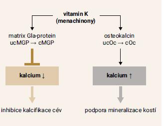 Schéma 2   Působení menachinonů na kalcifikaci cévní stěny a mineralizaci kostí. Upraveno podle [22]
