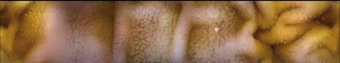 Normální endoskopický nález v jejunu, prase domácí – kapslová endoskopie.<br> Fig. 2. Normal endoscopic findings in the jejunum, domestic pig – capsule endoscopy.