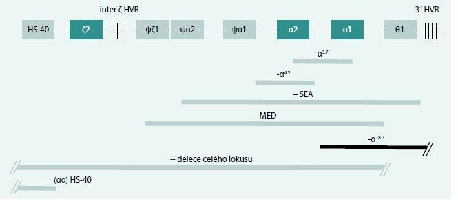 Schéma 5. Výskyt delecí postihujících α-globinové geny v naší populaci.