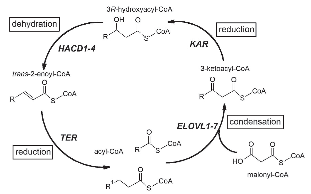 Elongation of fatty acid in mammals. The elongation cycle of fatty acids and respective enzyme is presented. Acyl-CoA incorporates two-carbon unit from malonyl CoA in every turn of elongation cycle. ELOVL = elongation of very long-chain fatty acids; KAR = 3-ketoacyl-CoA reductase; HACD = 3-hydroxyacyl-CoA dehydratase; TER = trans-2-enoyl-CoA reductase.