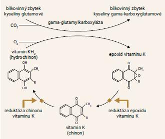 Schéma 1   C yklus vitaminu K. Prázdné šipky označují místa, na nichž zasahuje warfarin. Warfarin inhibuje reduktázu epoxidu a částečně i reduktázu chinonu vitaminu K