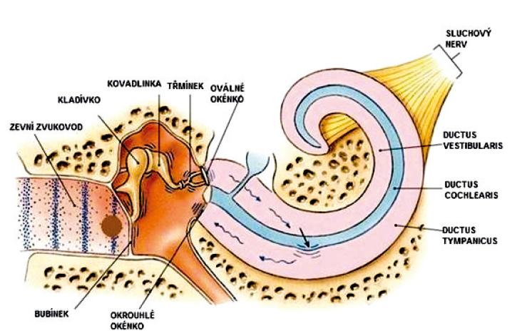 slyší lidské ucho. Zvukové vlny označeny modře se šíří ze zevního prostředí zvukovodem, rozkmitají bubínek, který následně způsobí pohyb sluchových kůstek ve středouší. Přes ploténku třmínku, pod kterou je uloženo oválné okénko, se kmitání přenáší na tekutiny vnitřního ucha, jejichž pohyb způsobí přímé podráždění vlastních vláskových smyslových buněk Cortiho orgánu v ductus cochlearis. Následně vznikají nervové impulzy, které se již sluchovým nervem šíří až do mozkové kůry. Upraveno dle http://www.drmkotb.com/EN/index.php?page=students&case=&A=1&B=1&C=0.