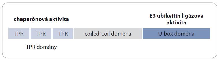 Funkčné domény proteínu CHIP. Proteín CHIP sa skladá z troch TPR domén, z coiled-coil domény a z U-box domény. TPR domény majú chaperónovú funkciu a U-box doména má E3 ubikvitín ligázovú aktivitu. Proteín CHIP spája E3 ubikvitín ligázovú aktivitu s chaperónou aktivitou.