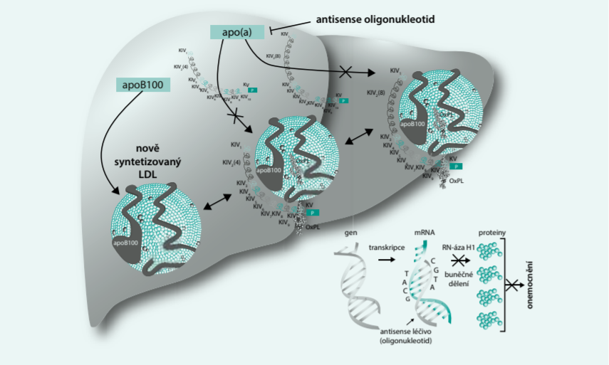 Mechanizmy účinku antisense terapie, zaměřené na snížení Lp(a). Upraveno podle [9]